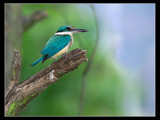 Wollombi Kingfisher. by trisbert, Photography->Birds gallery
