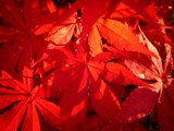 Fire Red Japanese Maple by brandondockery, Photography->Macro gallery