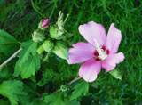 Rose of Sharon Bush and Critters by Constance52347, photography->flowers gallery