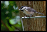 another  chickadee by photog024, Photography->Birds gallery