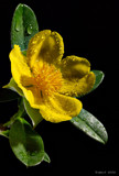 Aussie Colours. by trisbert, Photography->Flowers gallery
