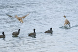 Pintails Spooked by photog024, Photography->Birds gallery