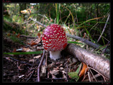 Fly Agaric by Larser, Photography->Mushrooms gallery