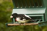 R B Grossbeak by photog024, Photography->Birds gallery