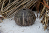 Urchin by SR21, Photography->Macro gallery
