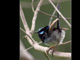 Super Fairy Wren. by trisbert, Photography->Birds gallery