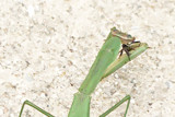 Mantis has Lunch by photog024, photography->insects/spiders gallery