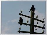 Watchers by Ravenwyng, Photography->Birds gallery