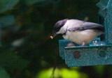 My Little Chickadee by photog024, Photography->Birds gallery