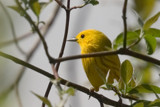 Yellow Warbler by photog024, Photography->Birds gallery