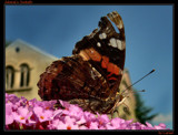 Admiral's Sunbath by Larser, Photography->Butterflies gallery