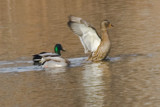 Female and Male Mallards by photog024, Photography->Birds gallery