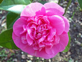 Camellia by JOHNLAKEBURR, Photography->Flowers gallery