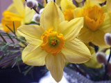 Live Daffy !! by JOHNLAKEBURR, Photography->Flowers gallery
