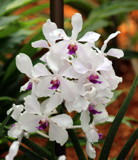 Singapore Orchids (3... by Pistos