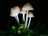 Happy Glow. by trisbert, Photography->Mushrooms gallery