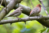 House Finch family by photog024, Photography->Birds gallery