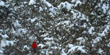 Spot the Cardinal by KT11109, Photography->Birds gallery