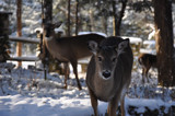 Greeting Deer Christmas Morning by KT11109, Photography->Animals gallery