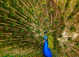 Eyes of a Peacock by tsmyth90, Photography->Birds gallery
