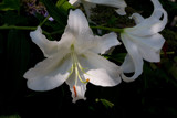 Easter Lily by photog024, Photography->Flowers gallery