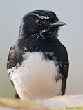 Willie's Portrait. by trisbert, Photography->Birds gallery