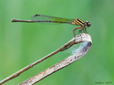 Dining Damsel. by trisbert, photography->insects/spiders gallery