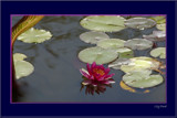 Lily Pond by tigger3