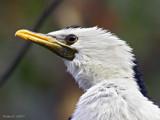 Bright Eye. by trisbert, Photography->Birds gallery