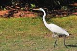 Strutting by SR21, Photography->Birds gallery