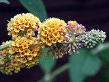 Buddleia Globosa by JOHNLAKEBURR, Photography->Flowers gallery