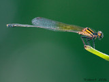 Demoiselle by trisbert, Photography->Insects/Spiders gallery
