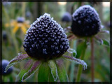 Dipped by Larser, Photography->Flowers gallery