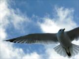 Soaring Seagull by clarkephotography, Photography->Birds gallery