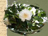 Victorian Camellias by Ravenwyng, Photography->Flowers gallery