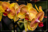 FF Orchids 12 by corngrowth