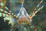 Lion Fish by WilliamBlake, Photography->Underwater gallery