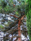 Pine Tree by Tedi, photography->nature gallery