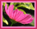 Kosmos by skapie, Photography->Flowers gallery