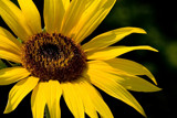 Sunflower by photog024, Photography->Flowers gallery